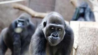 Gorila Moja se dnes stěhuje do Španělska