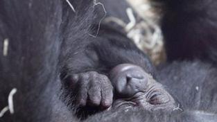 Gorilí mládě není v pořádku. Samečka Tana převezla ZOO do Stuttgartu