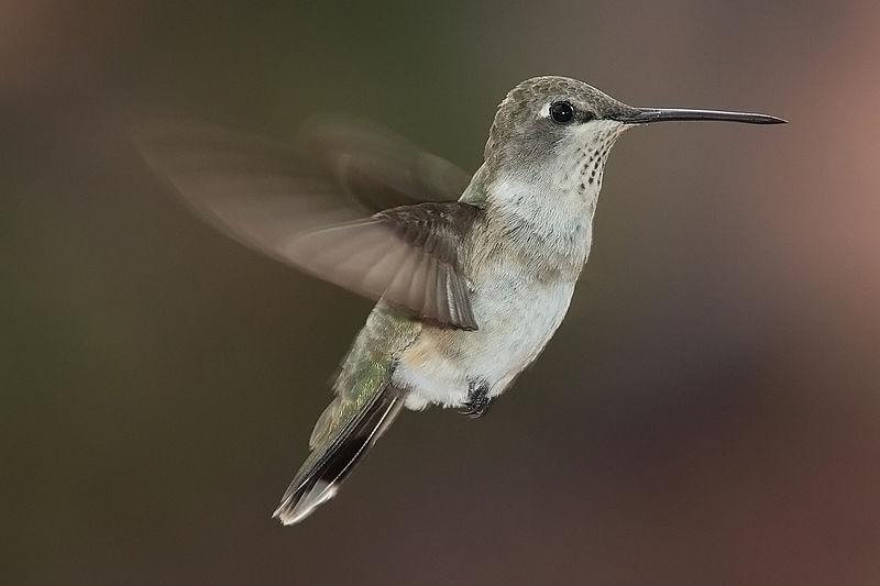 Když kolibřík létá pozadu, ví proč. Je to velmi efektivní