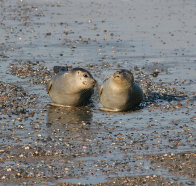 Na anglických ostrovech se narodila vůbec první tulení dvojčata
