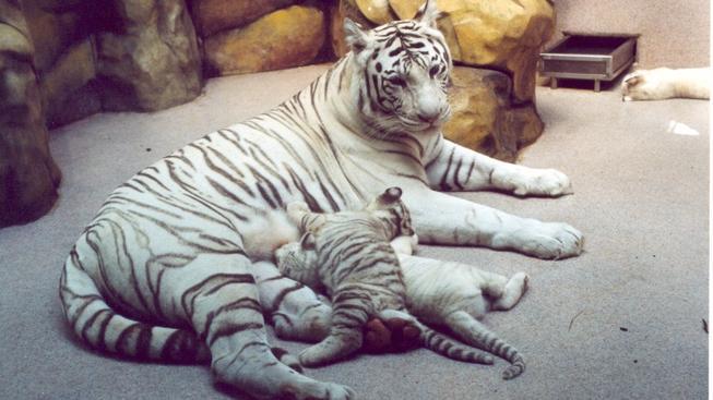 Isabella, bílý tygr v Liberci.