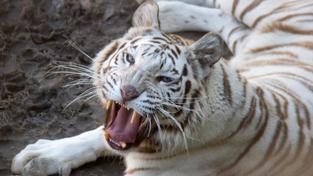 Bílý tygr (ilustrační foto)