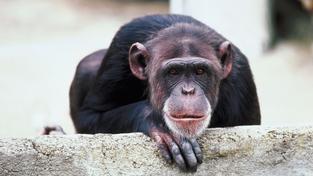 Šimpanz (ilustrační foto)