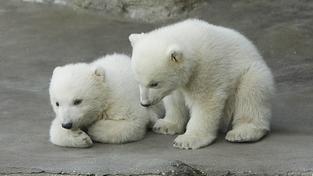 Mláďata medvěda