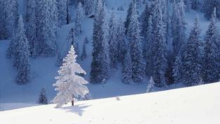 Zimní les se zasněženými stromky.