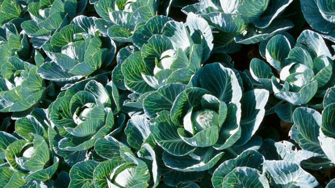 Hlávkové zelí
