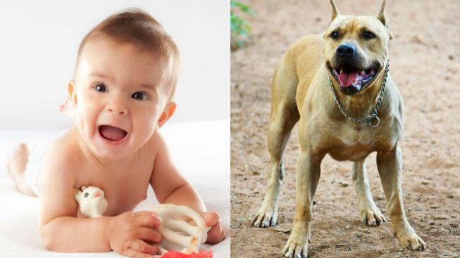 Pitbull a dítě (ilustrační foto)