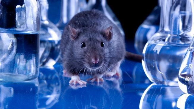 Myš v laboratoři