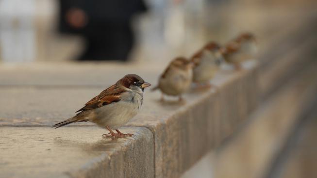 Vrabec (ilustrační fotografie)