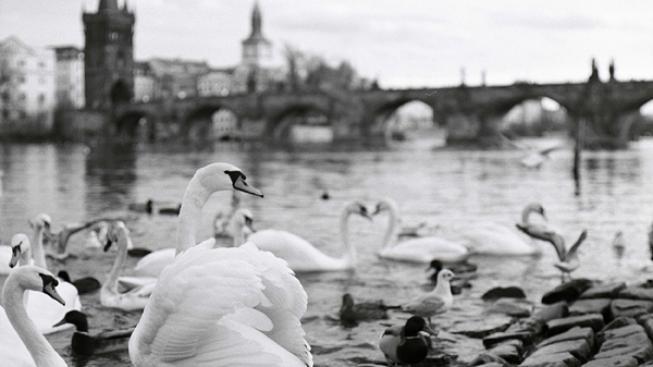 Labutě u Karlova mostu (ilustrační foto).