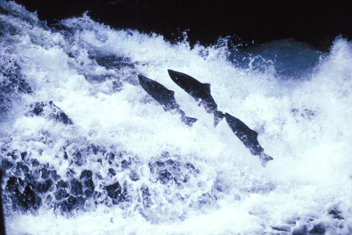Vědci zjistili, jakým způsobem lososi nachází svůj původní domov