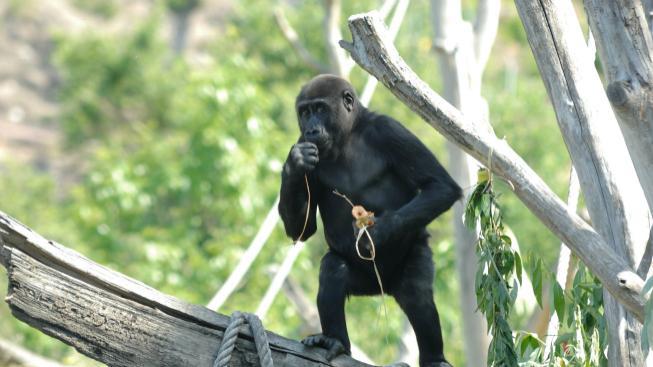 Gorila v pražské zoo