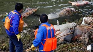 Mrtvá prasata v řece uprostřed Šanghaje.