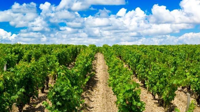 Vinice Bordeaux