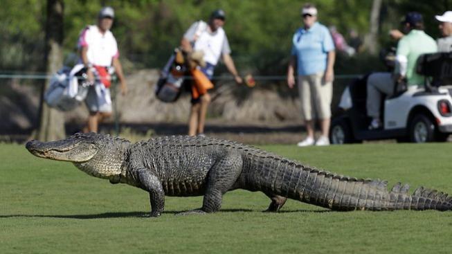 Aligátor na hřišti