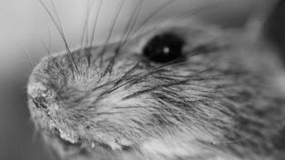 Myš, ilustrační foto