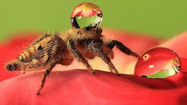 jumping-spider-waterdrop-hats-uda-dennie-3