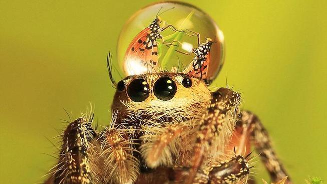 jumping-spider-waterdrop-hats-uda-dennie-2