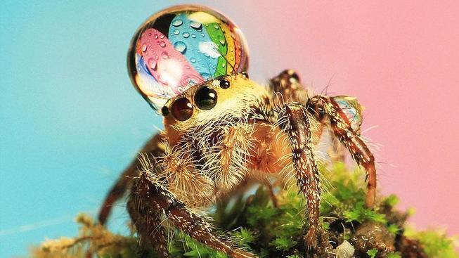 jumping-spider-waterdrop-hats-uda-dennie-1