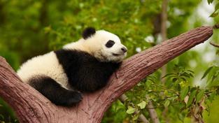 Mládě pandy (ilustrační fotografie)