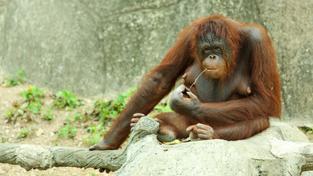 Orangutan (ilustrační fotografie)