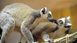 Lemur kata v zoo