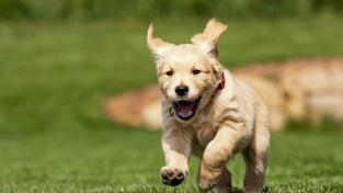 Psi umí žárlit stejně jako lidé. Chrání si tak své páníčky