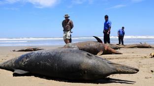Mrtví delfíni
