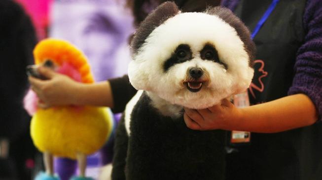 Pandí psi vyvolávají mezi Číňany totální šílenství