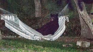 Medvědovi se v houpací síti zalíbilo