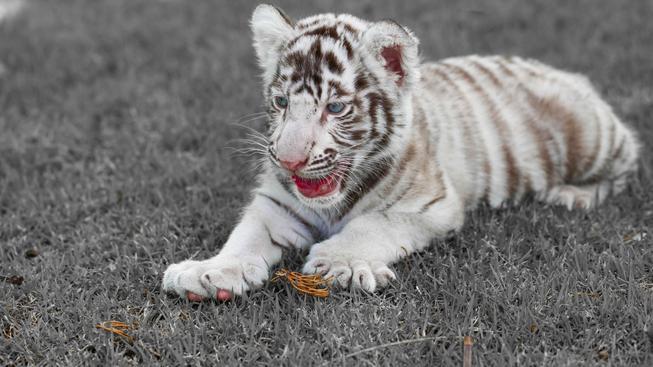 Mládě tygra bílého, ilustrační snímek