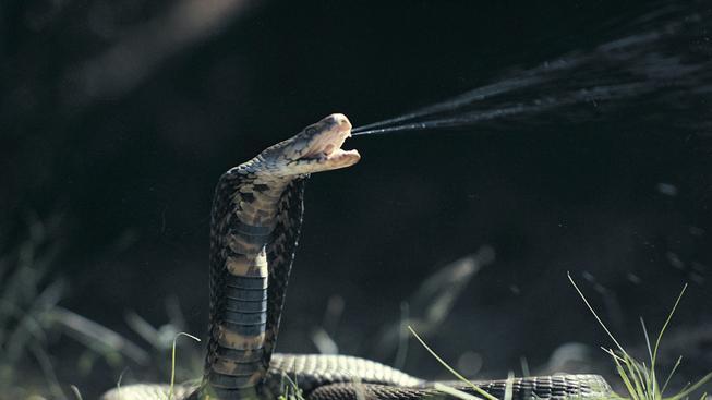 Kobra Mosambická