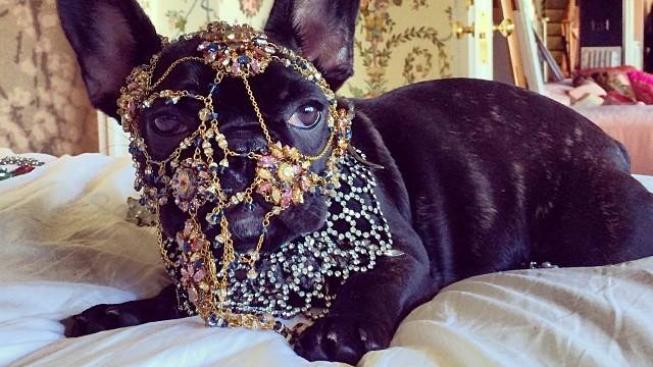 Francouzský buldoček Lady Gagy ověnčený tunou šperků