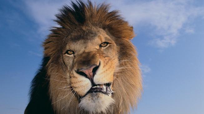 Rozzuřený lev