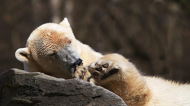 Medvědovi v argentinské zoo je smutno. (Ilustrační snímek)