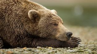 """Medvědi grizzly umí """"vypínat a zapínat"""" cukrovku"""