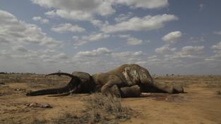 Sloni jsou v Africe zabíjeni po desetitisících