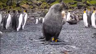 Znásilnění tučňáka lachtanem zaznamenali vědci na kameru