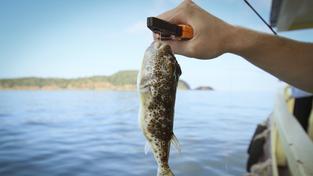 Fugu je nebezpečná nejen pro milovníky této japonské lahůdky, ale i pro samotné rybáře.