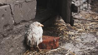 Ptačí chřipka děsí Nizozemce