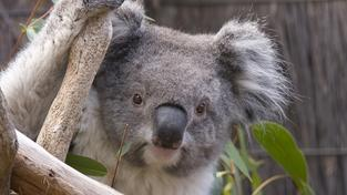 Australská vláda musela zabít téměř 700 koal, hrozila jim smrt vyhladověním