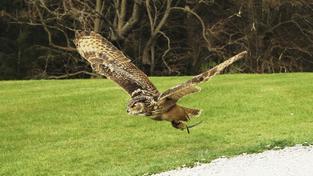 Výr velký má rozpětí křídel až 1,8 metru