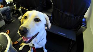 Asistenční psi cestují se svými páníčky na palubě, nikoli ve schráně v zavazadlovém prostoru