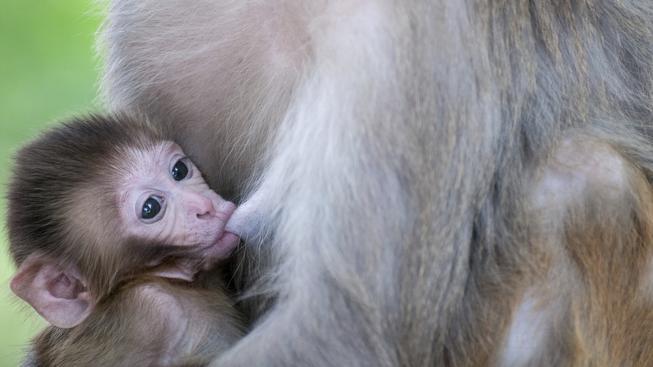 Zoo pojmenovala mládě makaka stejným jménem jako má britská princezna