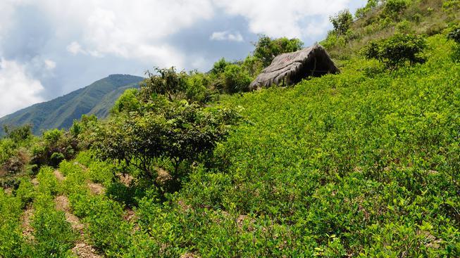 Kolumbie bude muset najít jiný způsob, jak ničit kokové plantáže (ilustrační snímek)