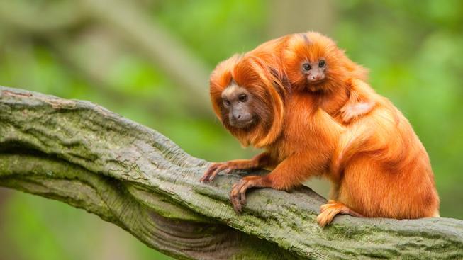 Lvíčci zlatí jsou velmi vzácný a chráněný druh opic