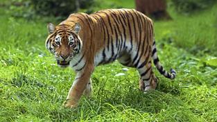Zoo zastřelila tygra, který při útěku zabil ošetřovatele (ilustrační snímek)