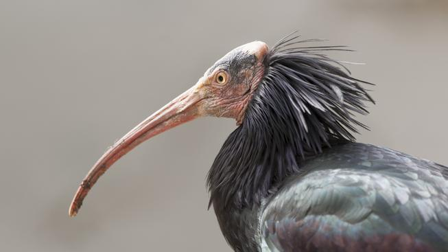 Kvůli bojům s Islámským státem zřejmě v Sýrii vyhynou kriticky ohrožení ibisové skalní