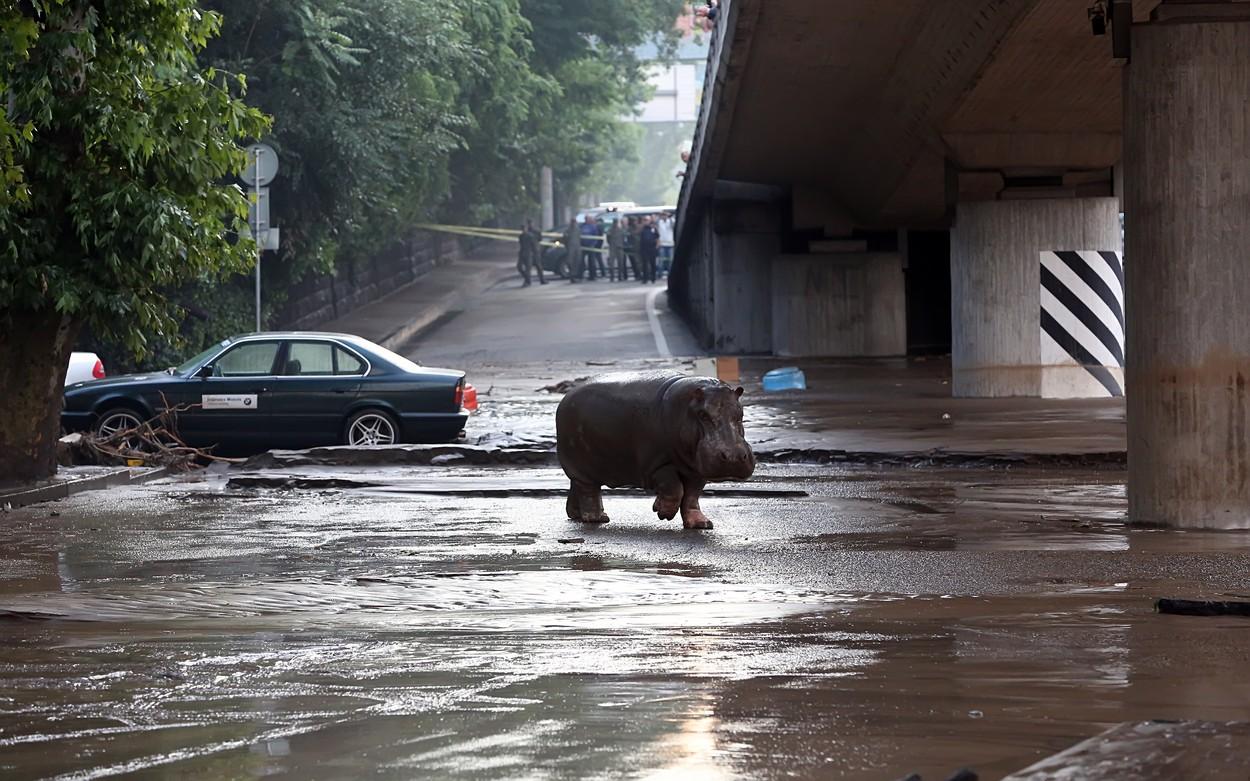 Centrem Tbilisi se prohánějí lvi, vlci, hroch a krokodýl. Utekli před povodní
