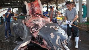 Japonci se nechtějí vzdát lovu velryb, který považují za svoji národní tradici